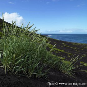 Wild grass growing in black sands of volcanic island, Surtsey, Iceland