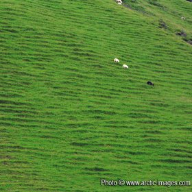 Sheep grazing on soil steps, summer, Petursey Iceland