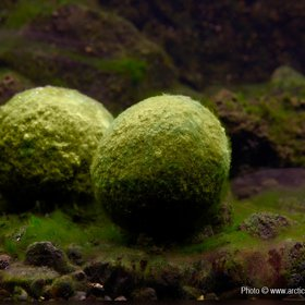Moss Balls in Lake Myvatn, Iceland