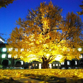 Ginko Tree Glowing in Autumn