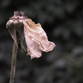 Tiredness of a rose