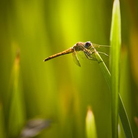 Dragonfly fights against the wind