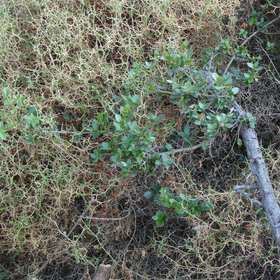 Drought-resistant shrub