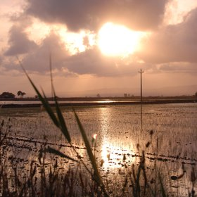Rice Field in Delta D'Ebre Park