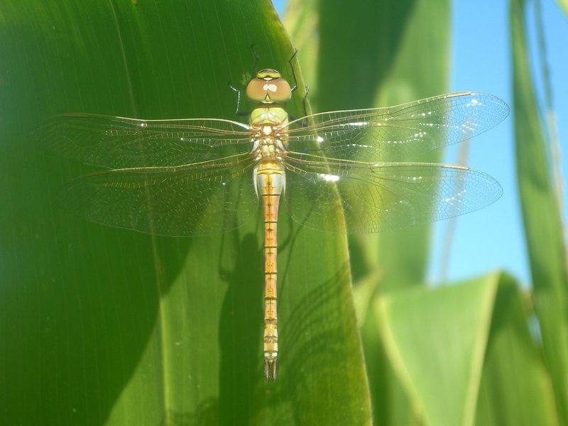 Dragonfly On Maize Leaf