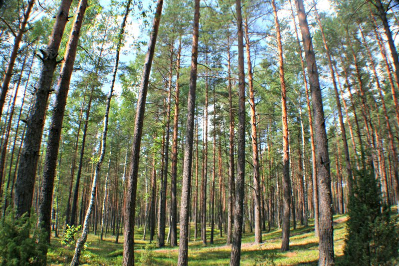 Pine forest (Lithuania)