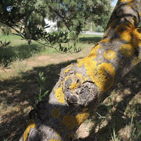 Lichens on olive tree trunk