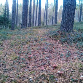 Natural mulch...in Belarus Forests