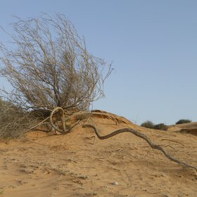 Coarse roots of Retama raetam being denuded by wind erosion
