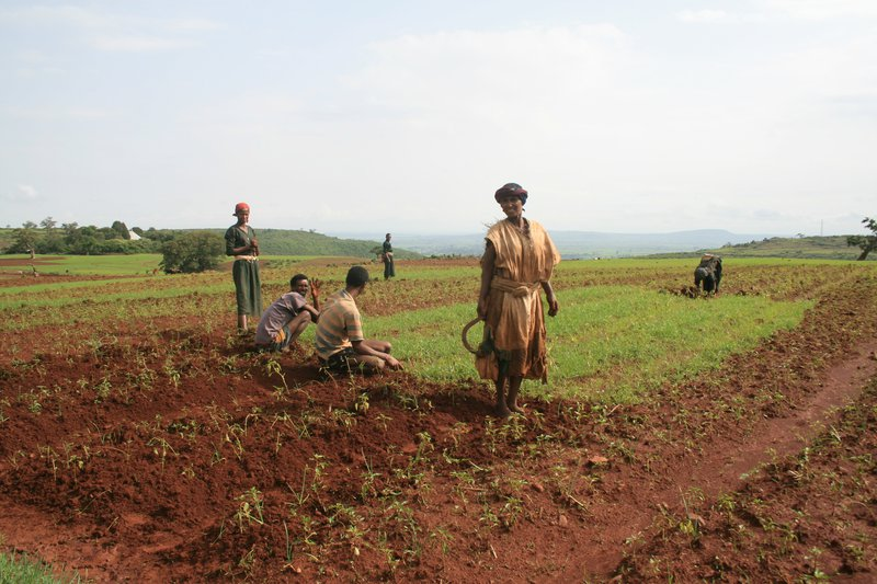 Bed planting in northern Ethiopia