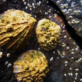 Limpet growth
