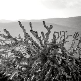 The dead branches of the Dragon Blood Tree [Dracaena Cinnabari, Socotra, Yemen]