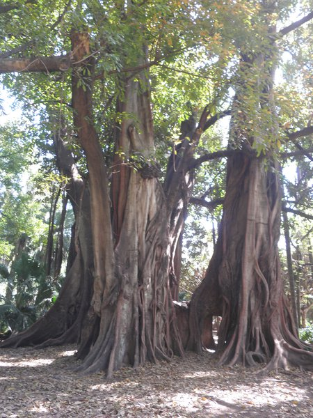 Confused roots with tree trunks at El Hamma garden,Algiers