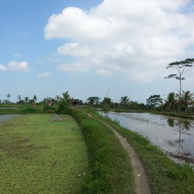 Fallow rice paddy with soil dykes, Bali