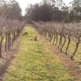Kangaroos in a vineyard in the hunter valley, NSW, australia