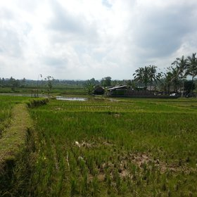 Rice paddies with soil dykes, Bali