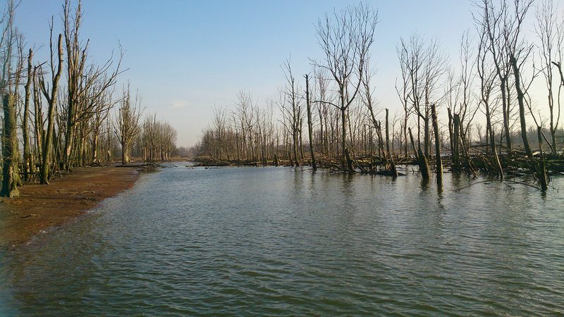 Drowned Trees in a former polder area in the freshwater tidal wetland The Biesbosch, The Netherlands