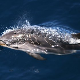 "Striped dolphins in ""Pelagos"" Sanctuary"