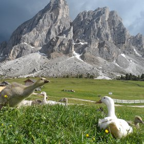 Ducks in the Dolomites