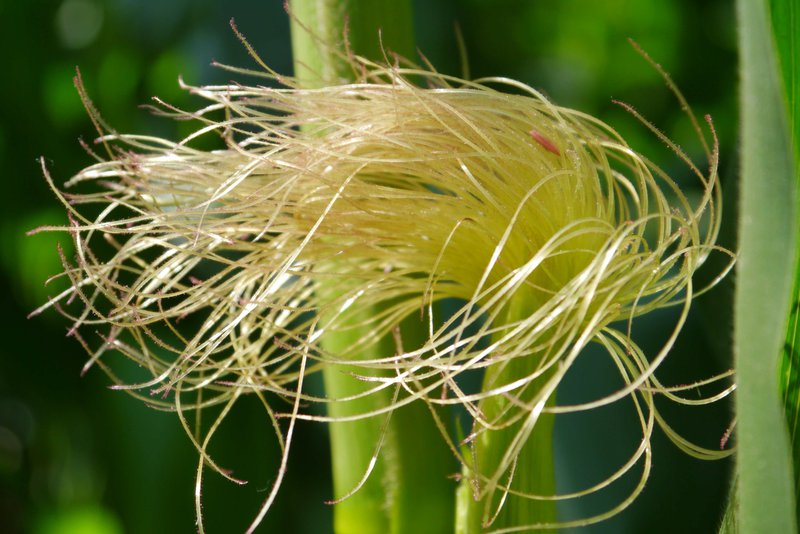 Maize silk - female inflorescence of Zea mays