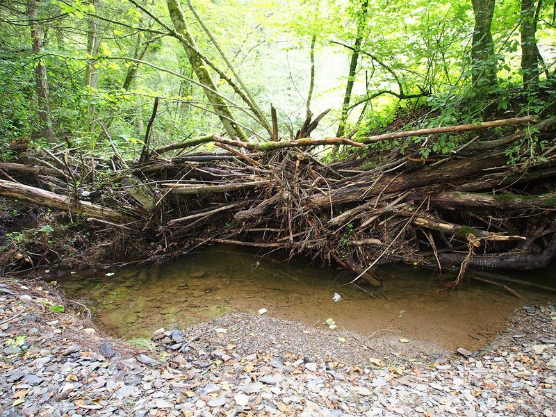 Beaver dam in the Ardennes