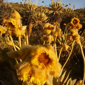 Frailejon flowers from Ocetá's Paramo