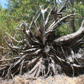 Root system of a dead eucalypt