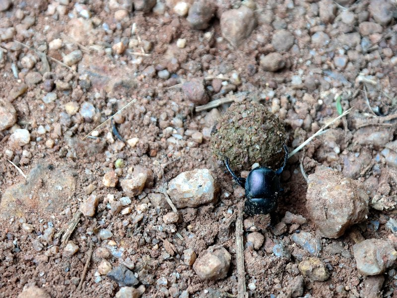Dung beetle at work in Kibale forest