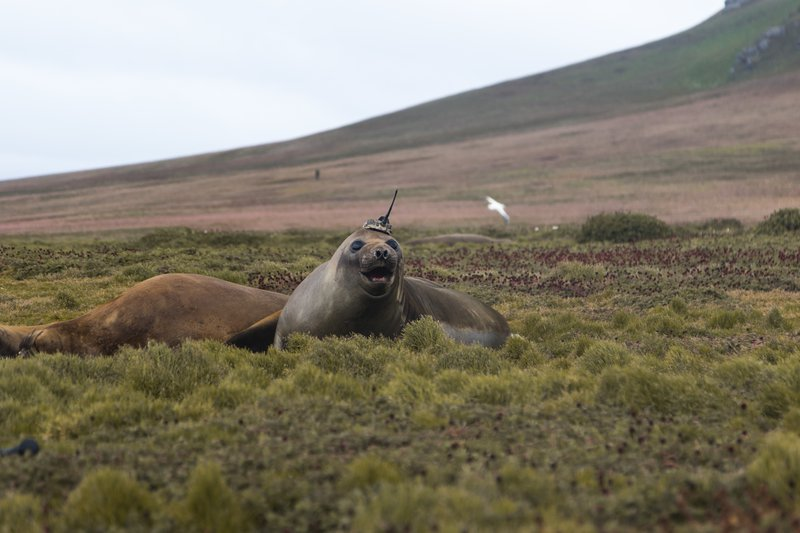 Crowned Elephant Seal