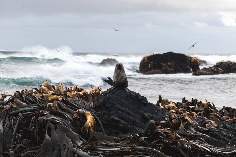 Antarctic Fur Seal and columnar basalt