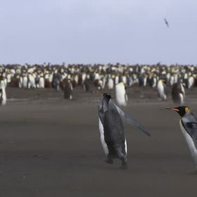 King penguins taking off?