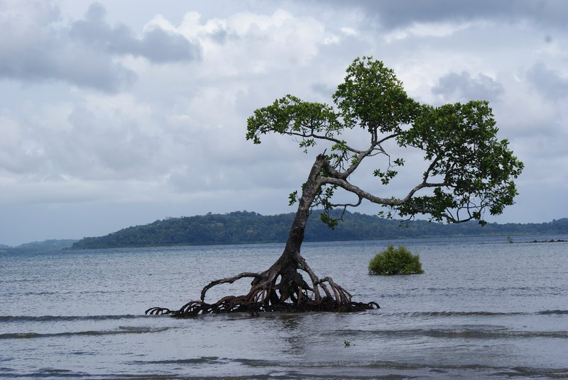 Alone Mangrove fighting with sea level rise.