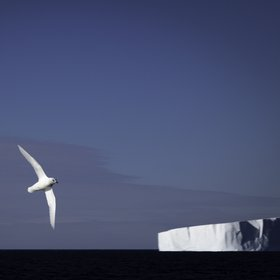 Snow petrel against iceberg