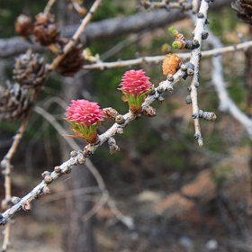 Young larch in May, the Altai Mountains