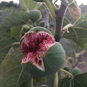 A beautiful laugh of a big fig in the summer