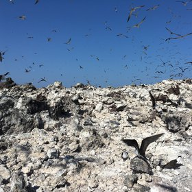 Loud sooty terns at Wide Awake airfield, Ascension Island