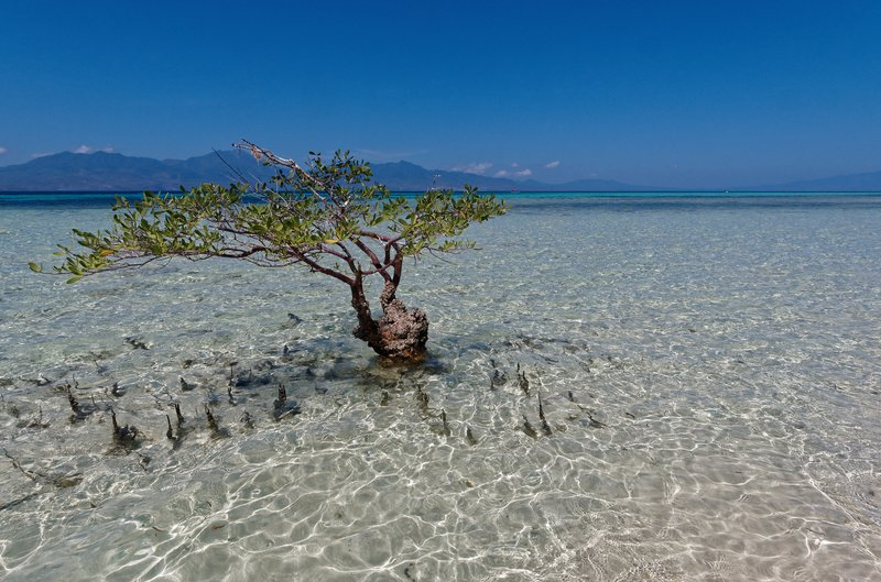 A solitary mangrove tree in Flores