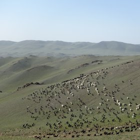 Sheep flock in Tseel, Mongolia