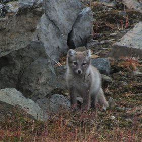 Arctic fox cub getting ready for winter