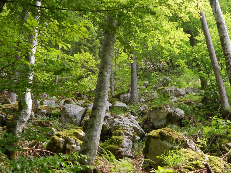 Beech forest on slope subject to rock fall