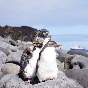 The Penguins of Tristan da Cunha