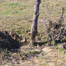 Rill erosion in a Spanish vineyard owing to a long-lasting rainfall event