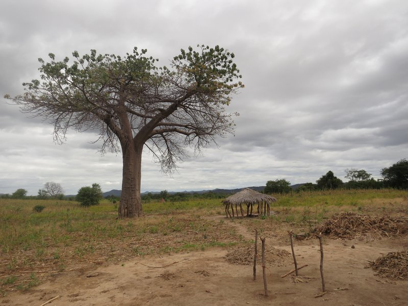Clouds over baobab tree