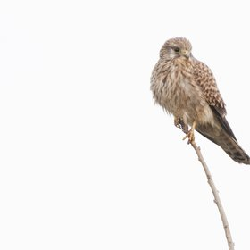 Wildlife Kestrel (Falco tinnunculus)