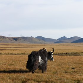 A lonely yak on the pastures of the Tibetan Plateau