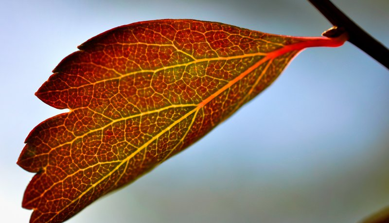 Autumn leaf with traces of chorophyll
