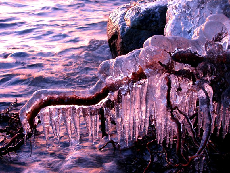 Ice-coated roots at sunset