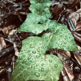 A wet understory plant