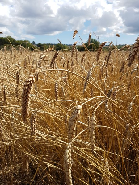 Harvesting resilient wheat