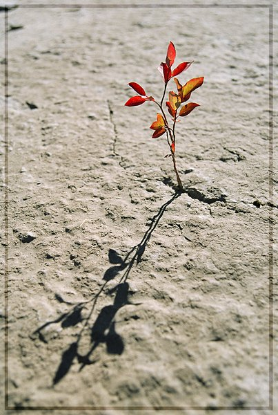 Blueberry sprig grows through Cambrian limestone, Siberian Arctic, Russia